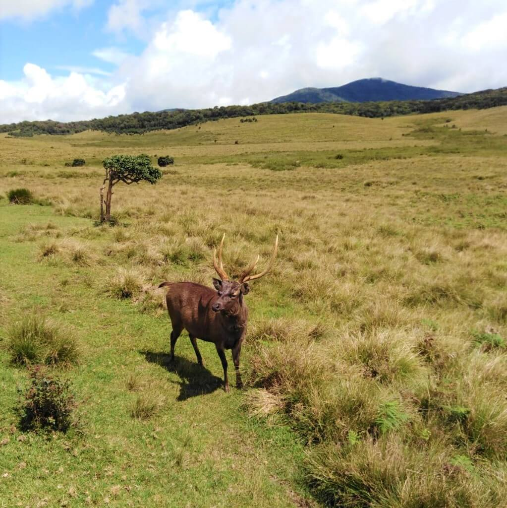 Een sambar in Horton Plains National Park