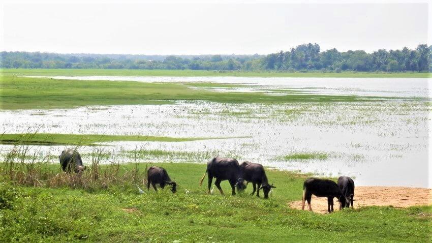 Irrigatiemeren rondom Anuradhapura, Sri Lanka