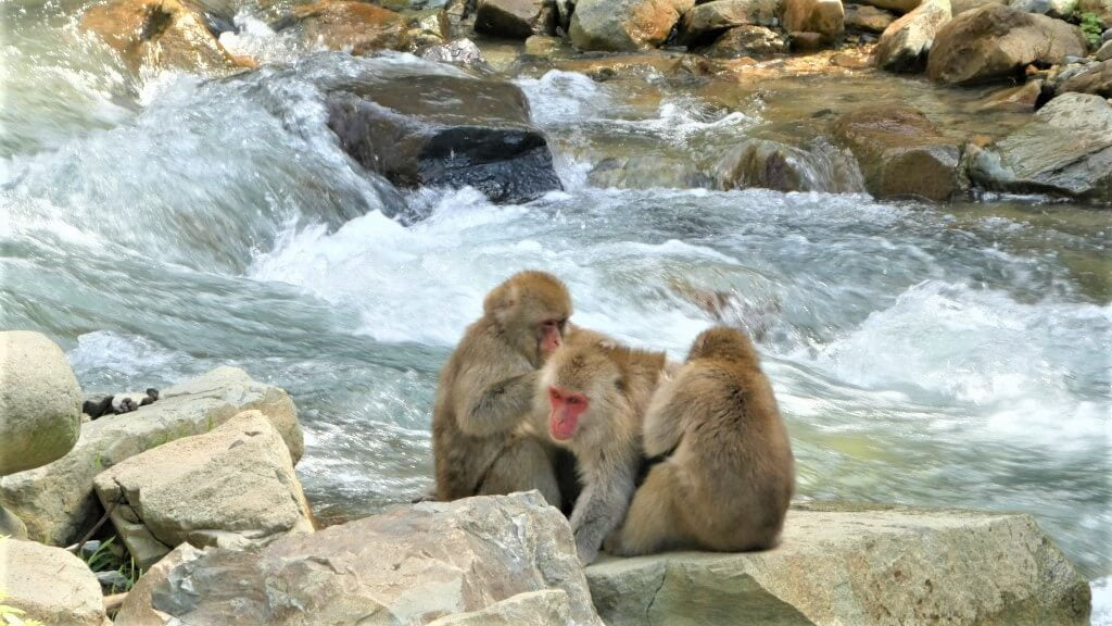 Japansen makaken in Jigokudanis Snow Monkey Park