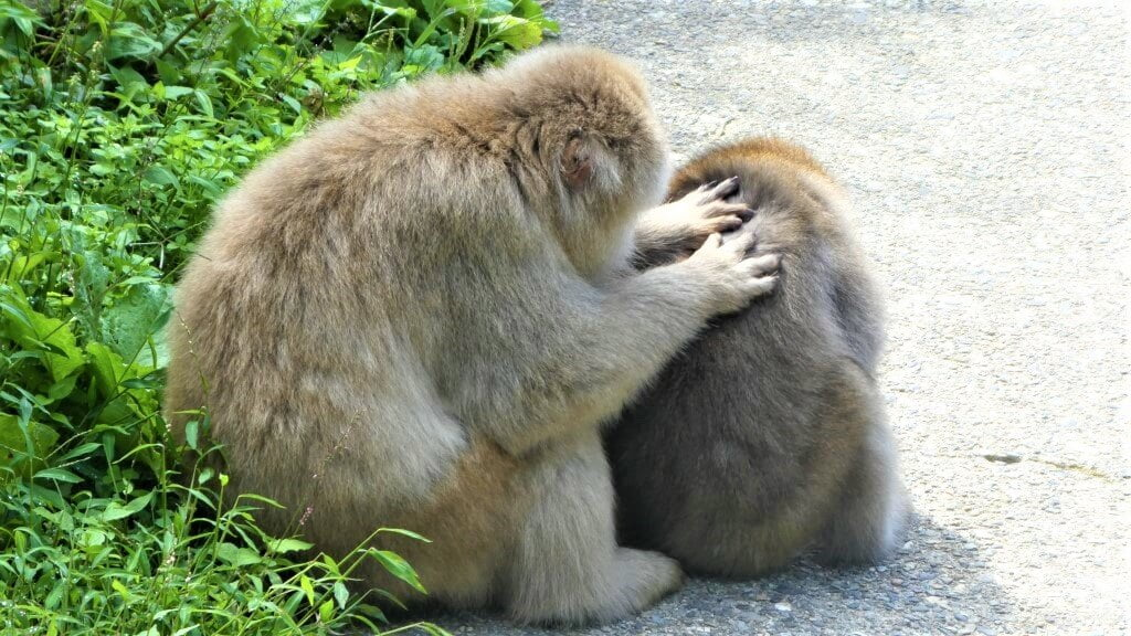 Twee Japanse makaken in Japan