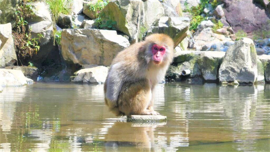 Een Japanse Makaak in Jugokudani Snow Monkey Park