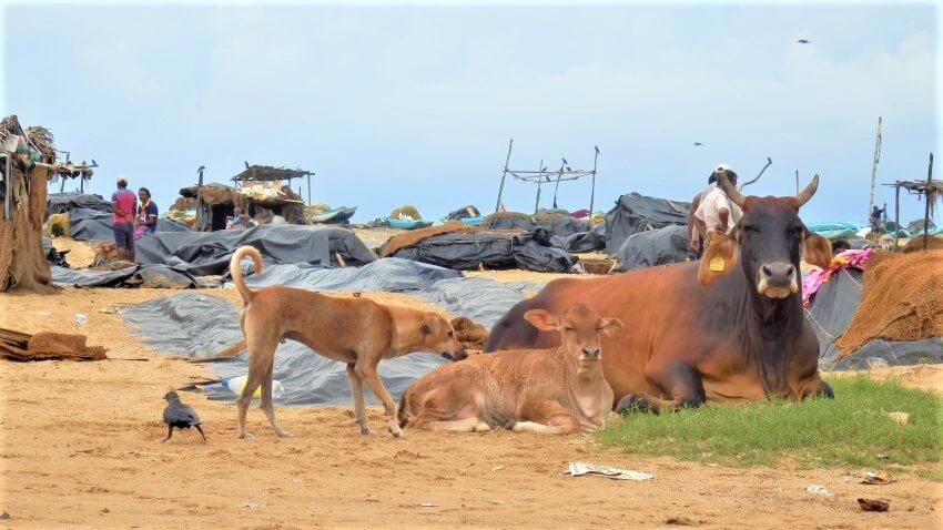 Koeien op het strand in Sri Lanka