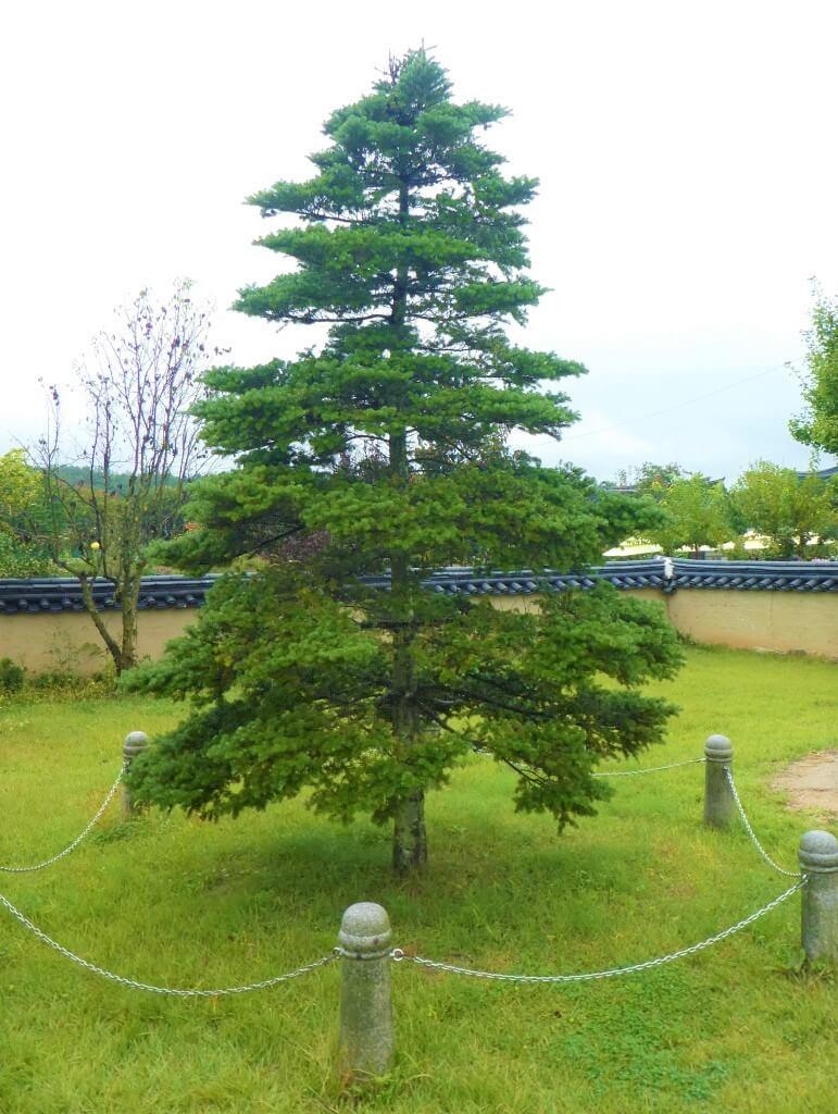 De boom van koningin Elizabeth