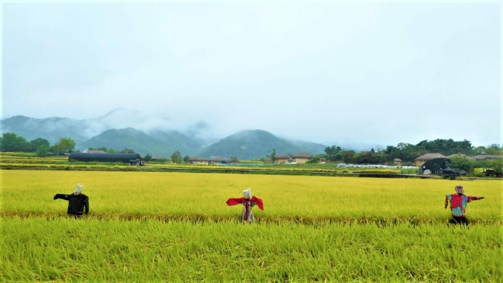 Rijstvelden in Zuid-Korea