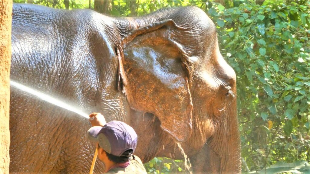 Olifant in het Elephant Valley Project, Cambodja