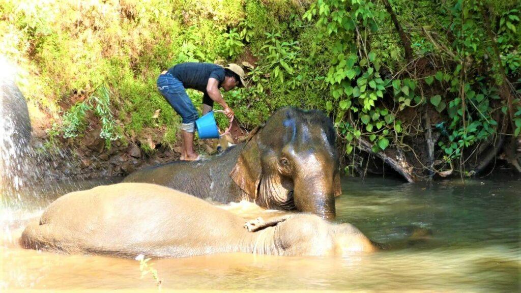 De mahout wast de olifanten