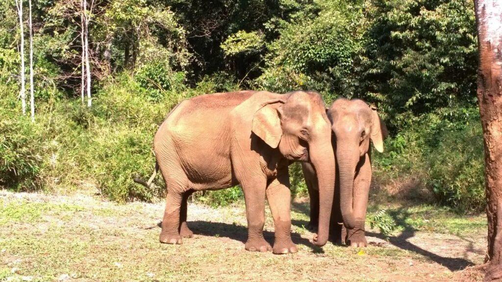 De olifanten van Cambodja