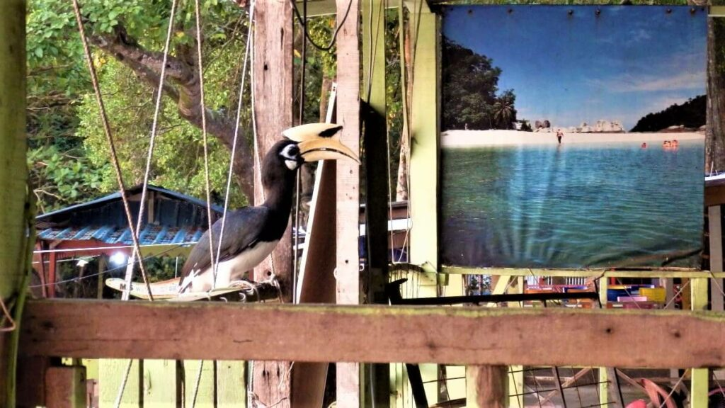 De neushoornvogel in Maleisië