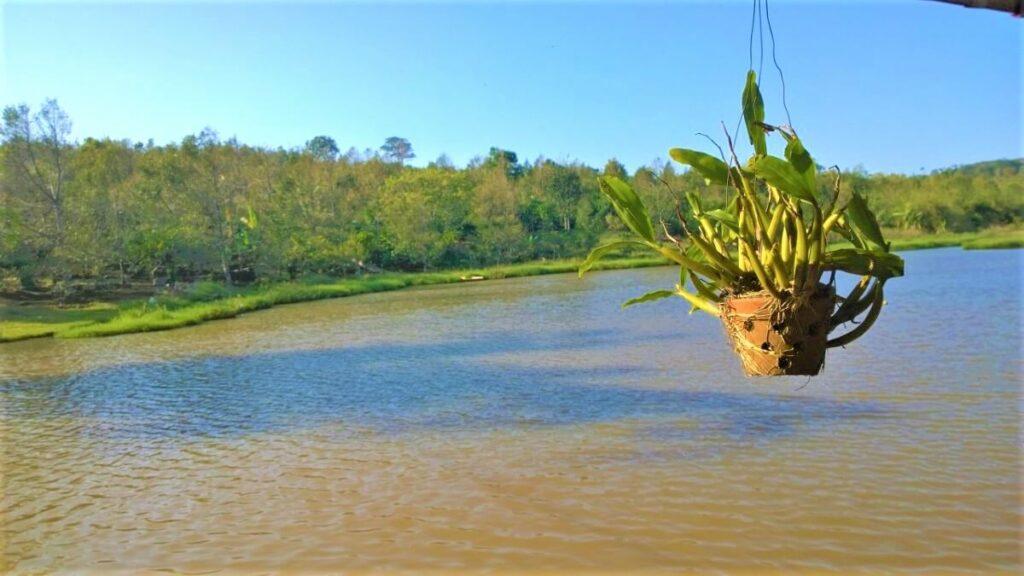 Koffie plantage in Sen Monorom, Cambodja
